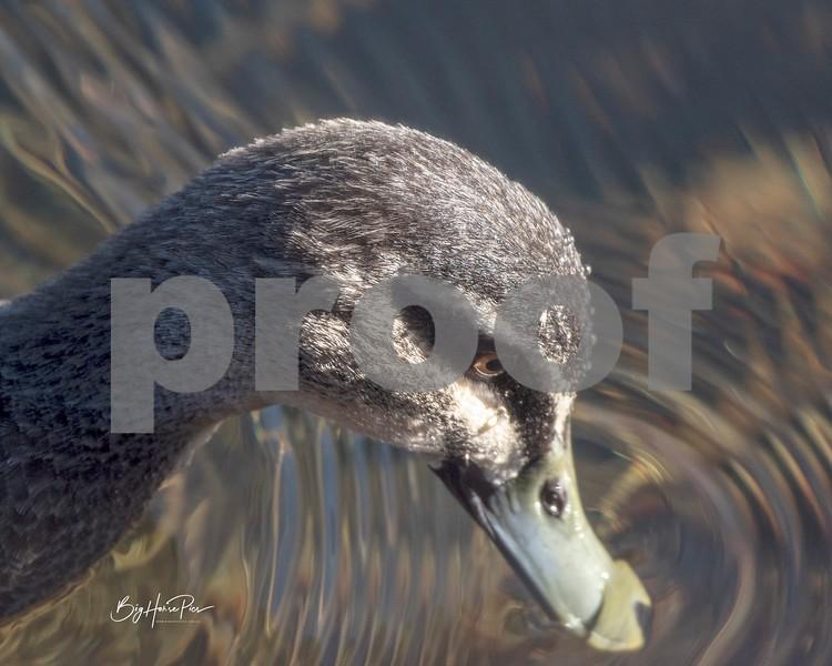 Thredbo river duck6 june 19,2019-1 - Copy.jpg
