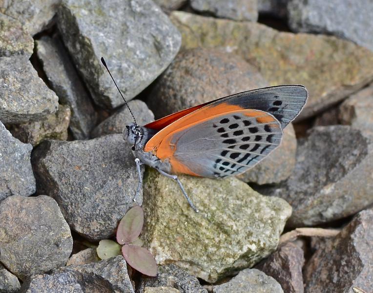 The Dotted Glory Butterlfy (Asterope markii)