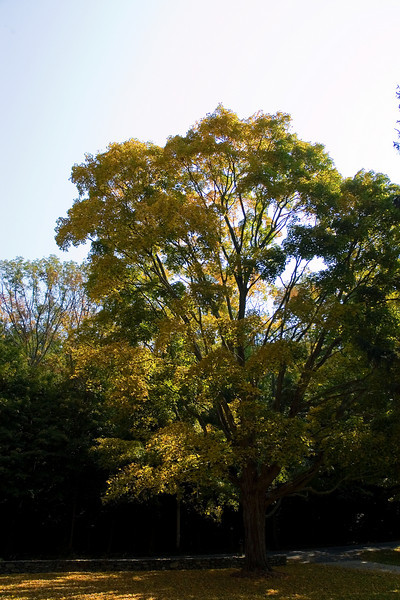 Maple by the Mailbox 3.jpg