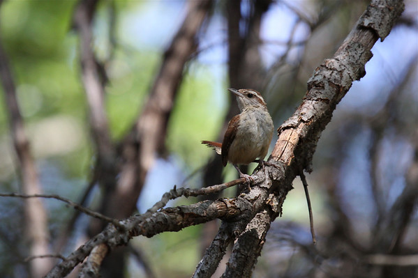 Wrens (Troglodytidae)