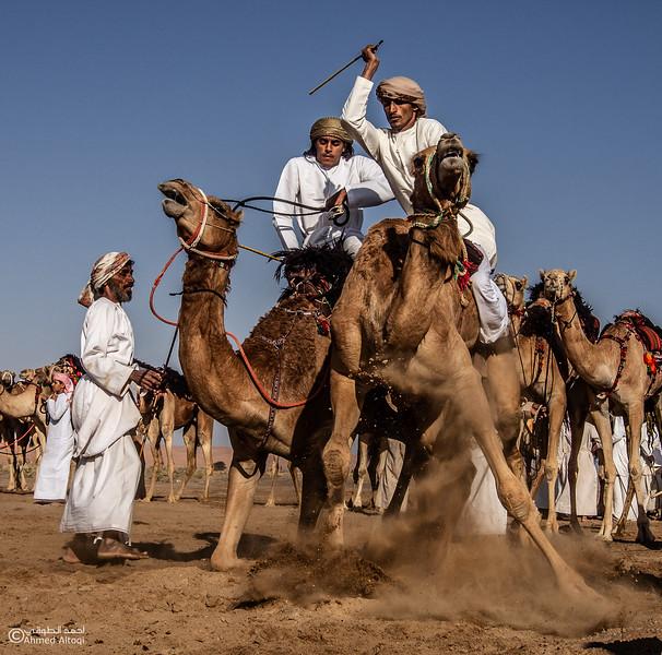 camels (2) copy.jpg