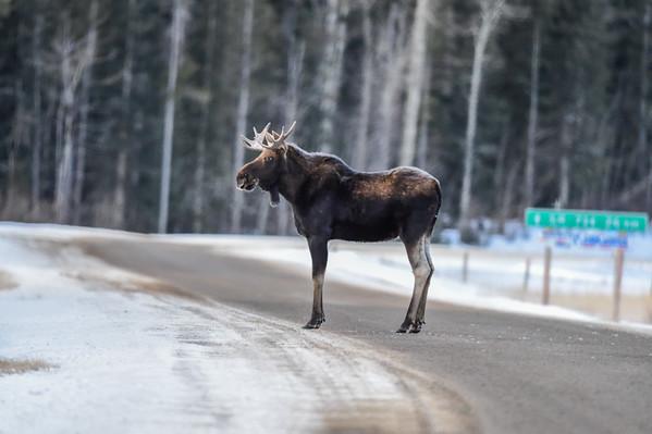 12-23-14 Bull Moose WC