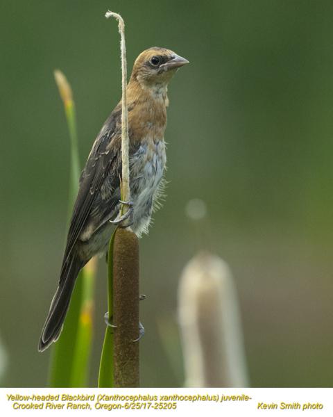 Yellow-headed Blackbird J25205.jpg