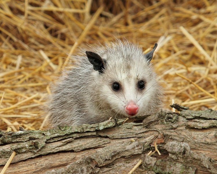 opossum 1349.jpg