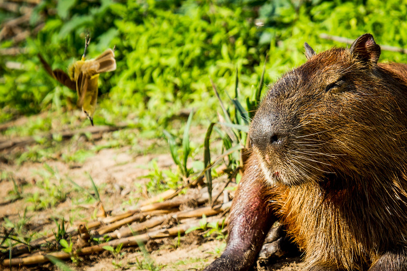 capybara (Hydrochoerus hydrochaeris) Pantanal, Poconé, Brazil. Cattle Tyrant (Machetornis rixosa) jumping to catch insect.
