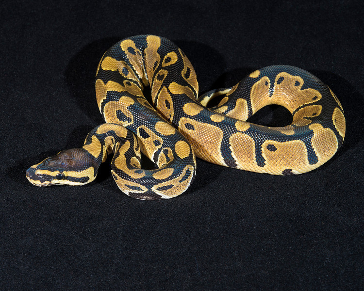 Het Piebald M0114, $40, hold for Mary S.