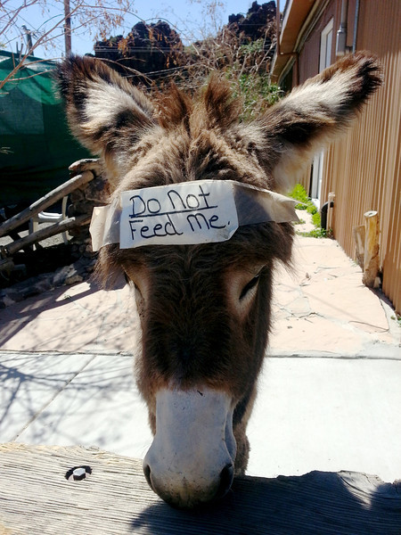 Another baby wild burro - probably hungry.