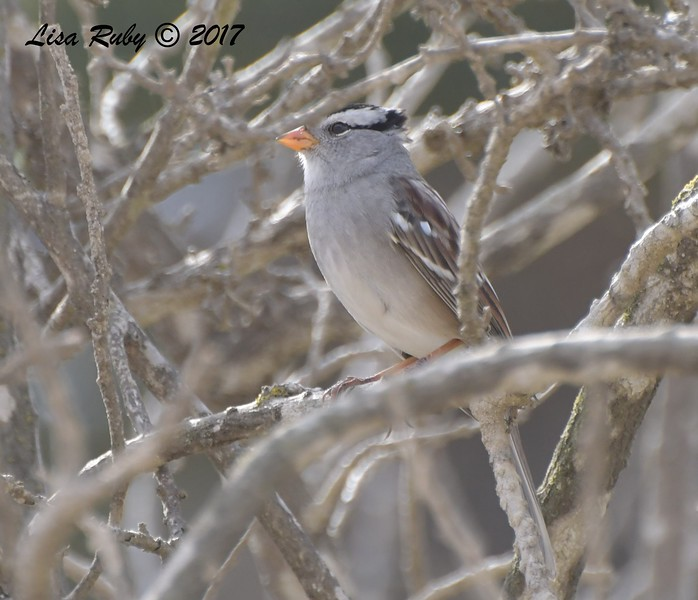 White-crowned Sparrow - 10/1/2017 - Del Mar Public Works