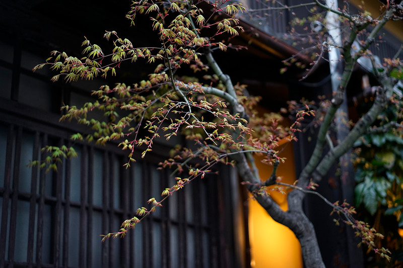 Early spring leaves; Kyoto, Japan