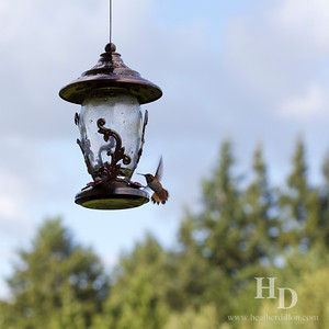 2013-06 Hummingbirds