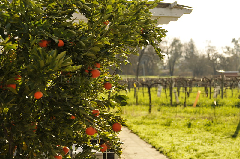 peaches in winery.JPG