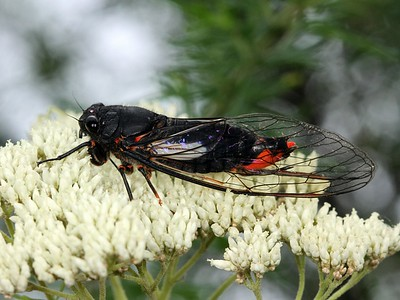 Cicadidae - Cicadas