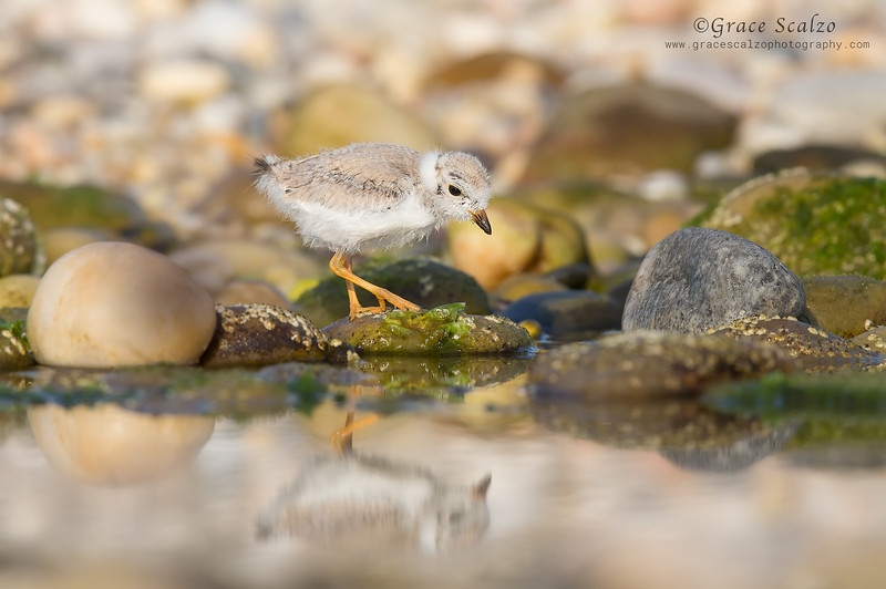 Piping Plover Chick Reflection