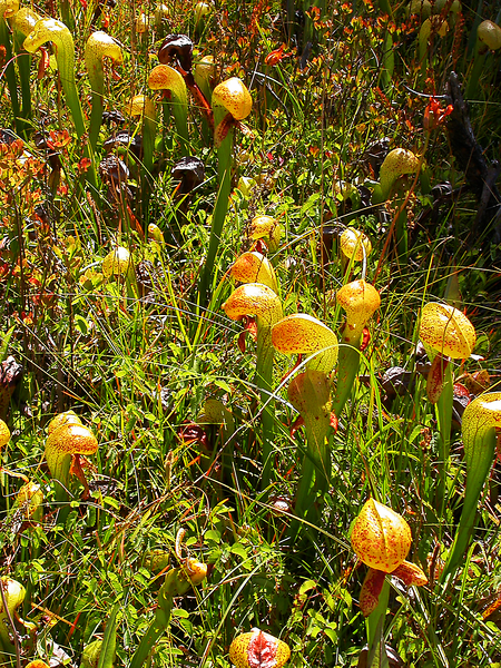 Summer 2007.  Foxes, raccoons, pitcher plants, Mono Lake, and Rhyolite Camp.