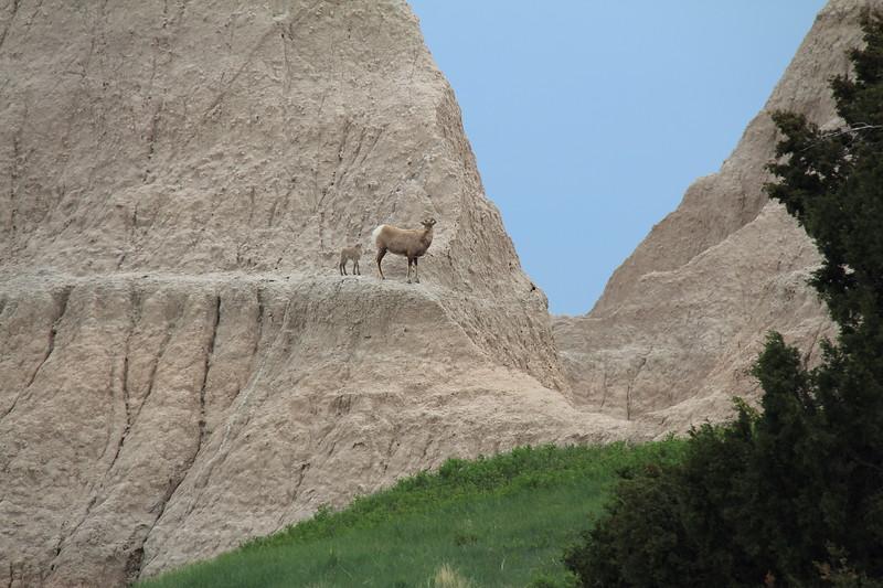 20140523-151-BadlandsNP-MountainGoats.JPG