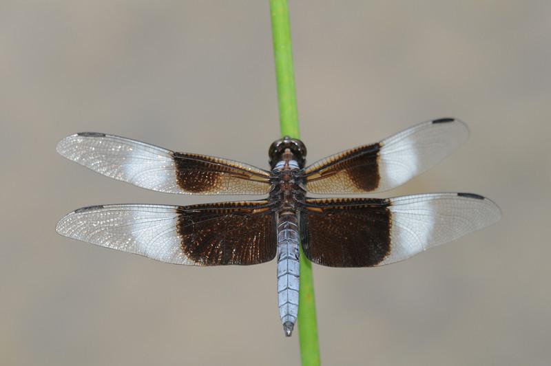 Libellula luctuosa (Widow Skimmer), GA