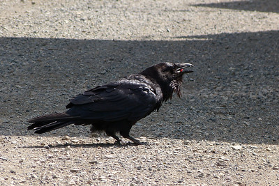 Raven Eating Berries While on the Tenakee Trail June 2015, Cynthia Meyer, Tenakee Springs, Alaska P1500885