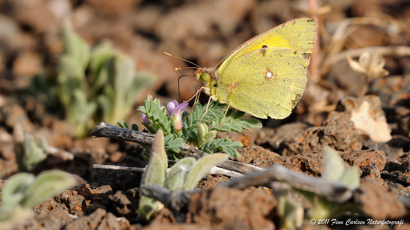 Orange høsommerfugl - Colias croceus - Dark Clouded Yellow