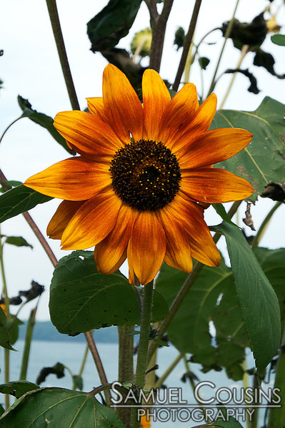 A blooming sunflower on the Eastern Prom.