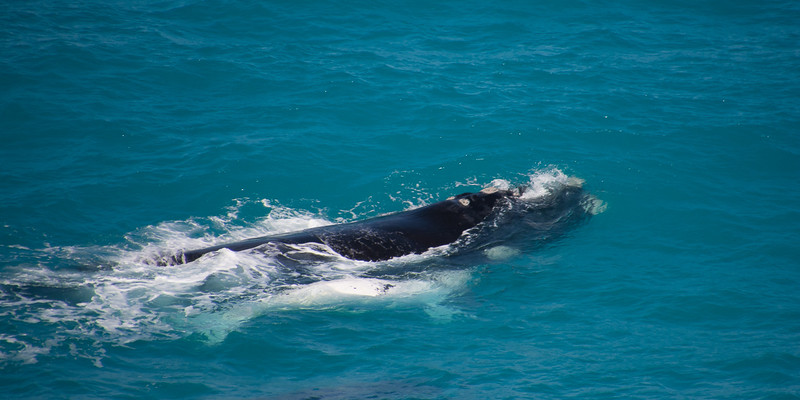 Southern right whales - mom and her calf