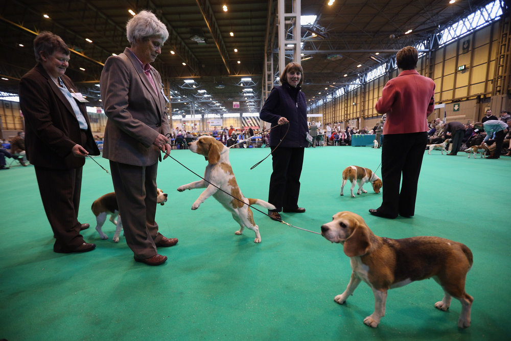 . BIRMINGHAM, ENGLAND - MARCH 07:  Owners show their dogs on the first day of Crufts dog show at the NEC on March 7, 2013 in Birmingham, England. The four-day show features over 25,000 dogs, with competitors travelling from 41 countries to take part. Crufts, which was first held in1891, sees thousands of dogs vie for the coveted title of \'Best in Show\'.  (Photo by Oli Scarff/Getty Images)