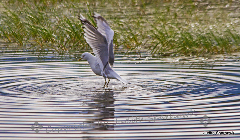 Mew gull wings circles.jpg