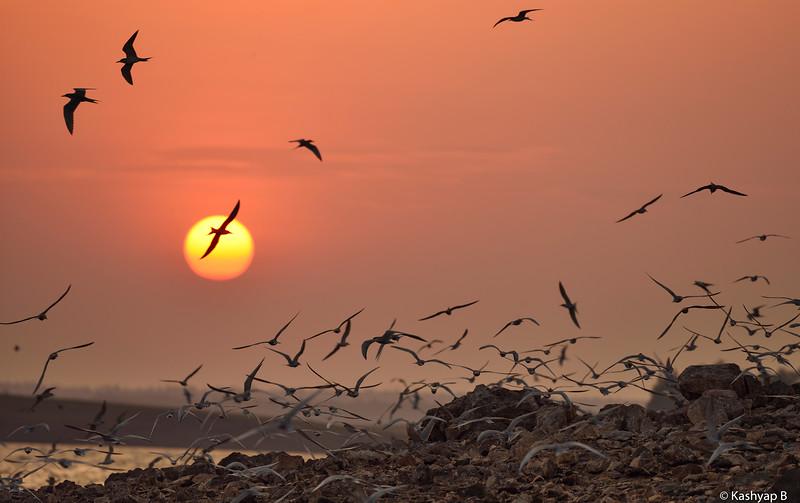 Sunset-with-riverterns-bhadra.jpg