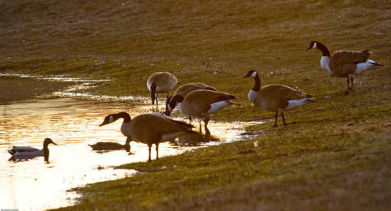 Family gathering. Canadian geese.
