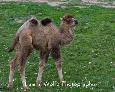Alpacas, Camels & Llamas