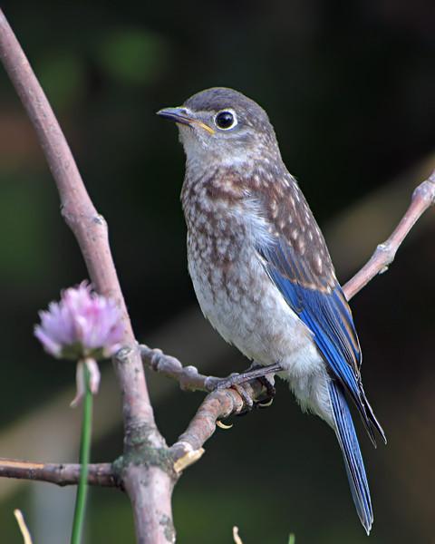 sx30_bluebird_fledgling_231.jpg