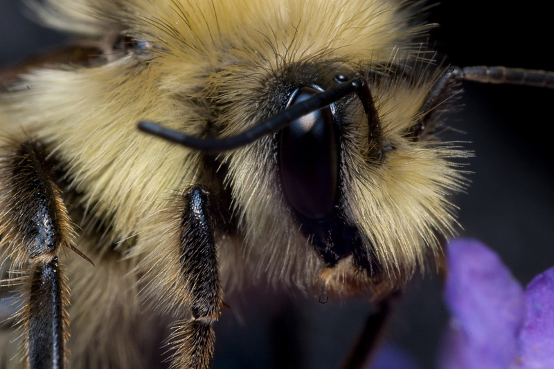 Bumble Bee, close ups with a reversed lens