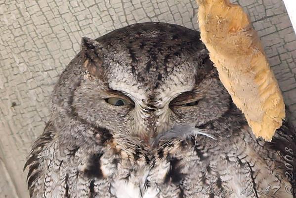2008-12-04 Screech Owl - Allen's Hummingbird