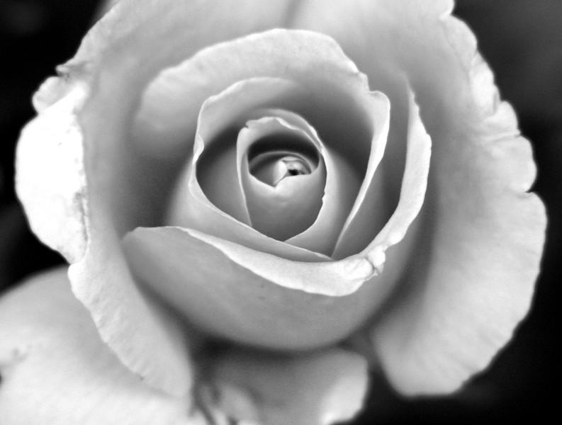 B&L Pink Roseedit 035.jpg