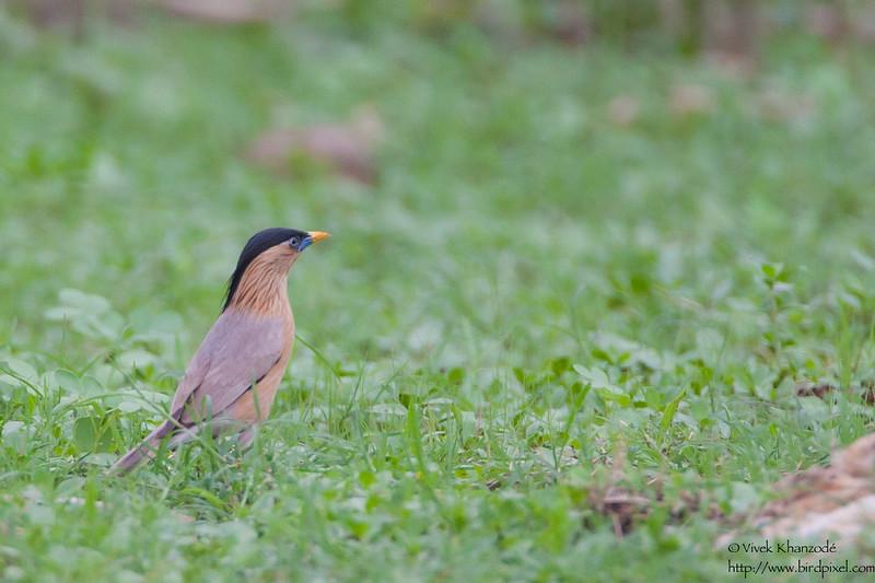 Brahminy Starling -  Nagpur, India