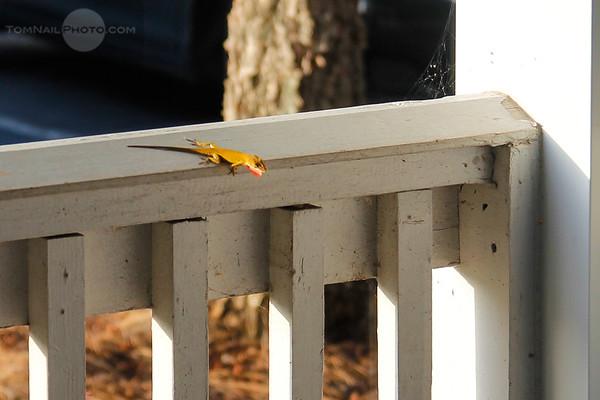 Lizard on my porch