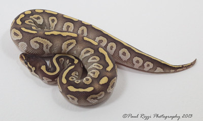 Rob Starzman Pythons