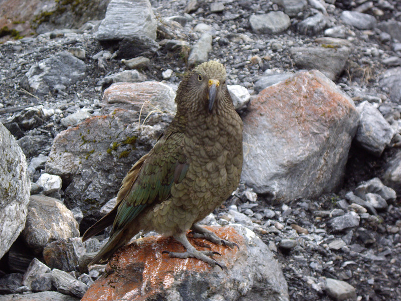 """A Kea... """"So what you got for me to eat?"""""""