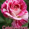 """George Burns"" rose"