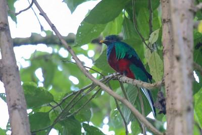 Trogons and Quetzals