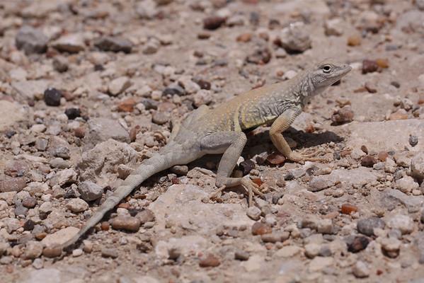Spiny Lizards (Phrynosomatidae)