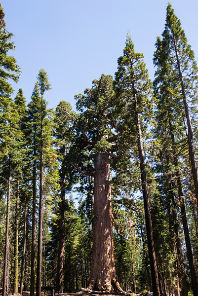 2019 San Francisco Yosemite Vacation 057 - Mariposa Grove.jpg
