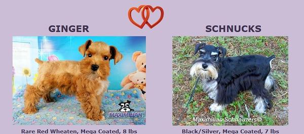Ginger & Schnucks Puppies, DOB 2/24/2021