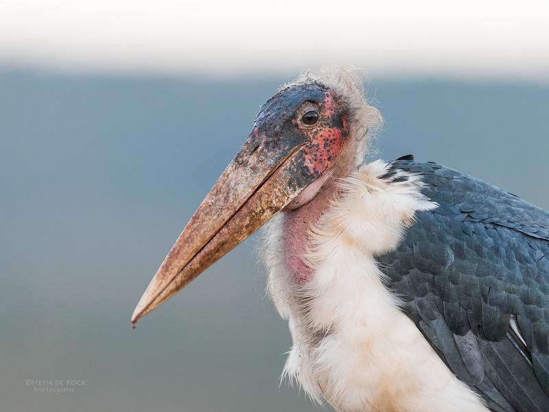 Marabou Stork, Zimanga, South Africa, May 2017-8.jpg