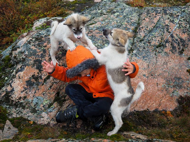 Puppy attack in Ilulissat
