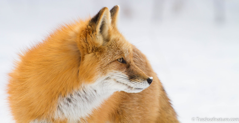 Red fox in snow, Colorado foothills