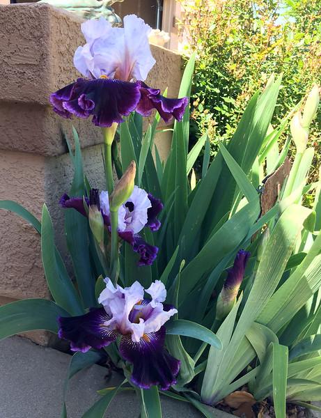 new irises.jpg