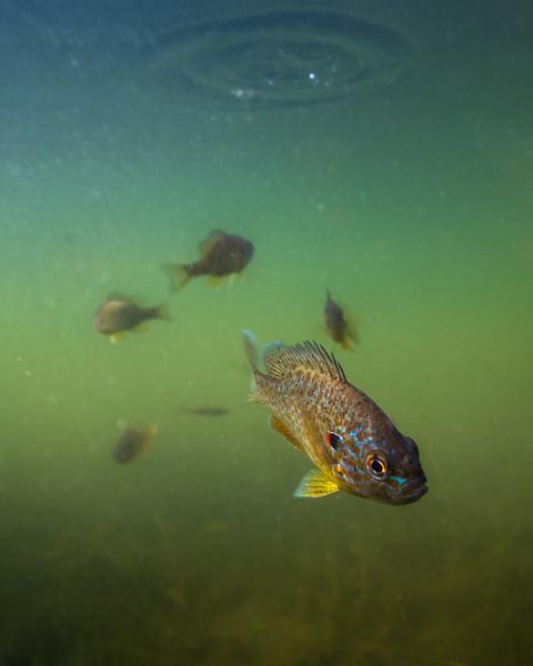 Pumpkinseed Fish-1.jpg