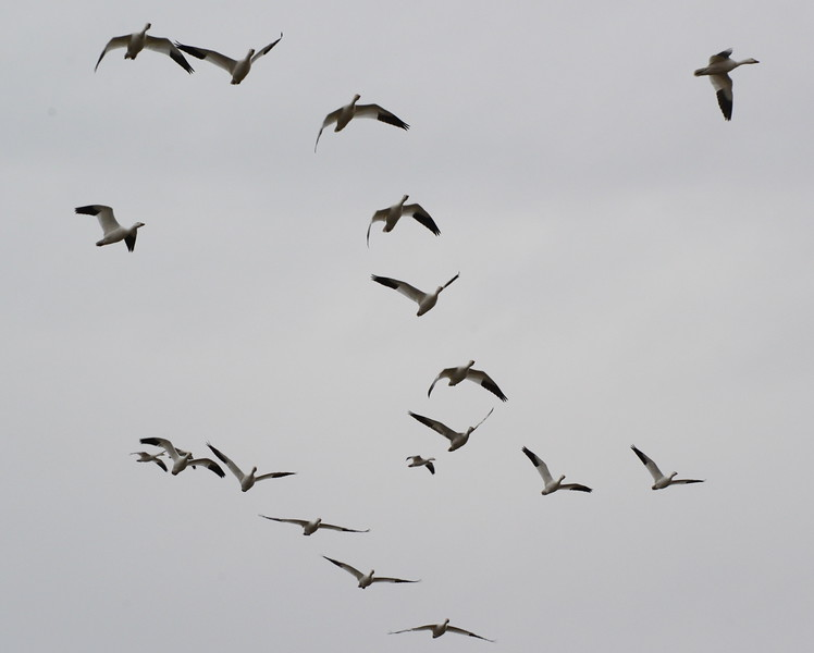 Snow Geese 12 03_13_19.JPG