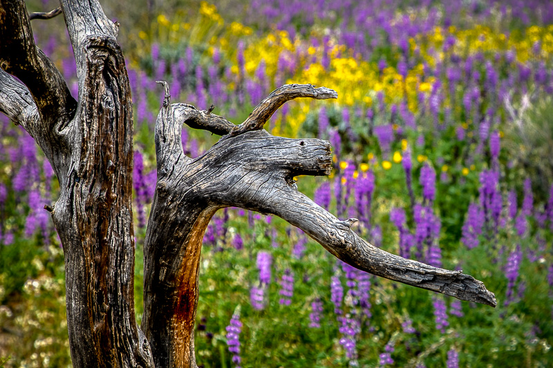 March 11 - A tree branching out to lupine and wildflowers, Bajada Nature Walk, Joshua Tree National Park.jpg