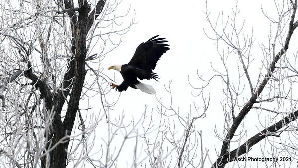 Eagles - North Branch MN Jan 2021